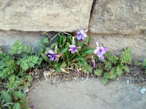 Violets at the Temple of Heaven
